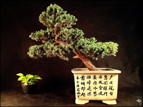 Juniperus scuamata