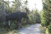 Moose On Olde BackWoods Road