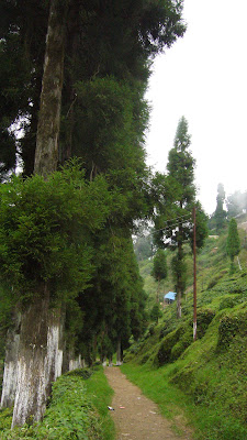 Darjeeling tea estate, Darjeeling pictures, Darjeeling India