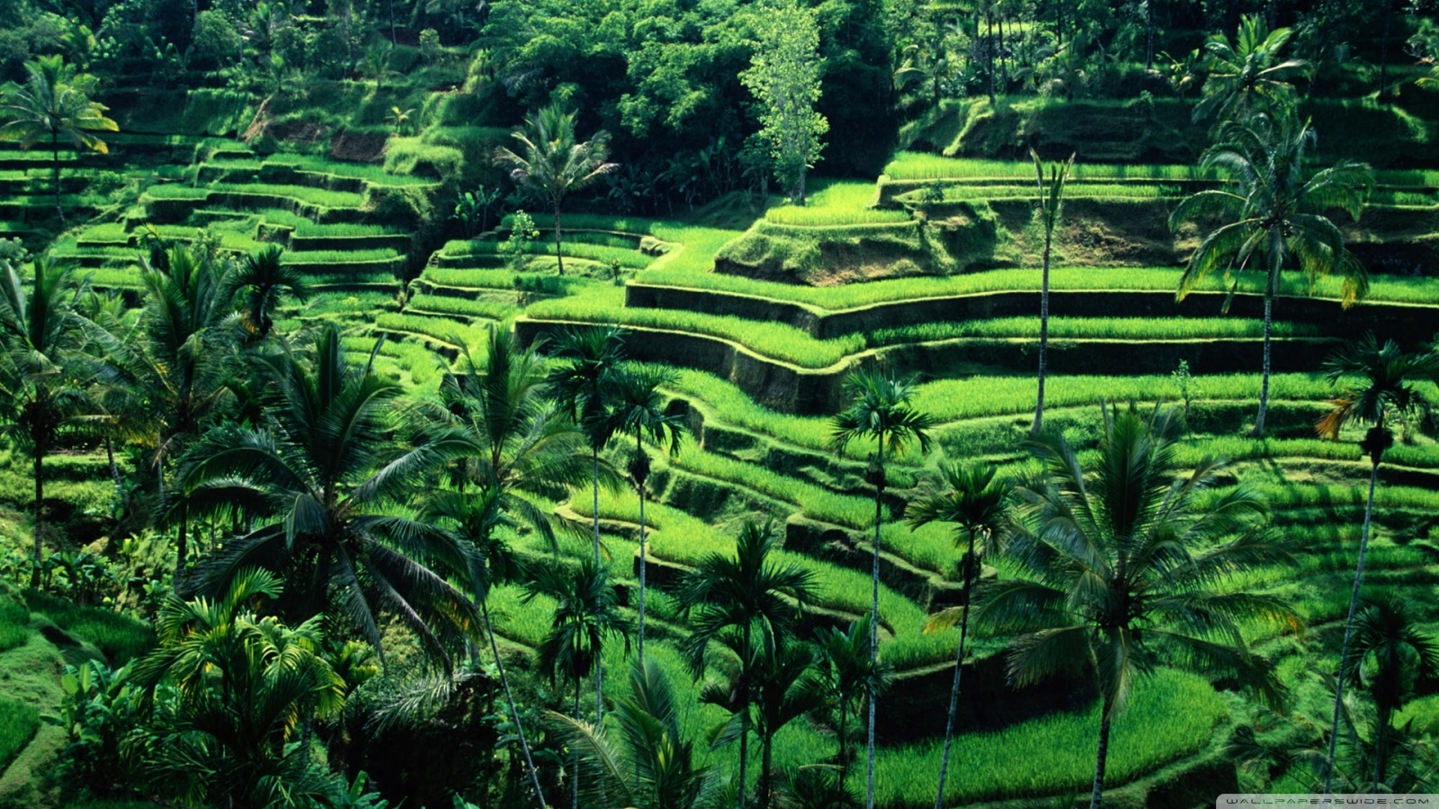 Bali wariga tour guide and driver jatiluwih rice terrace for Define terrace farming