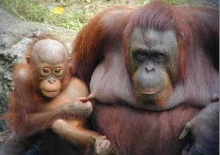 Funny Gorilla Pictures
