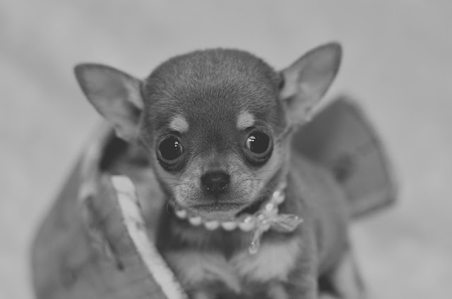 King's Lynn Photography, Chihuahua Puppy, Chihuahua Photoshoot, Chihuahua King's Lynn, Chihuahua Cuteness, Pet Photography