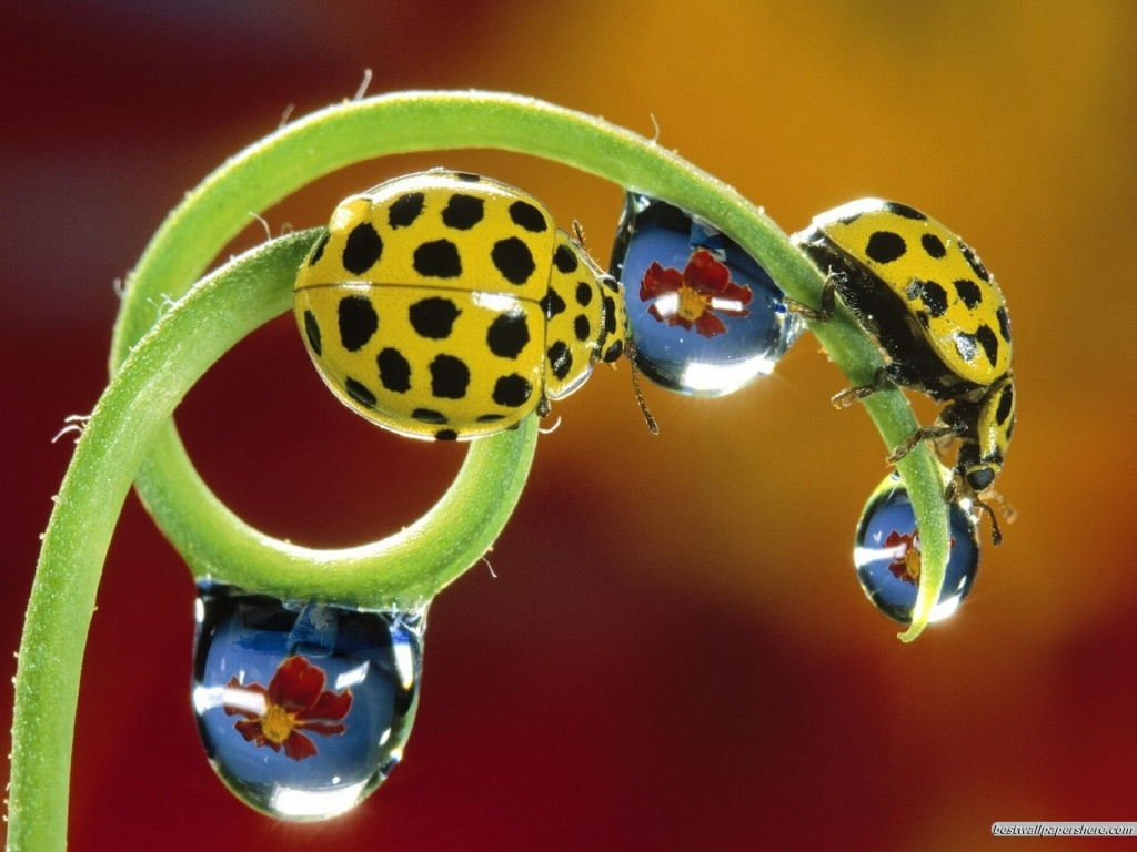 Lady bugs fun animals wiki videos pictures stories - Ladybug watering can ...