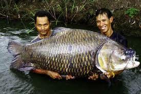 Notícias - Os 10 maiores peixes de água doce do mundo 10-+barbo+gigante