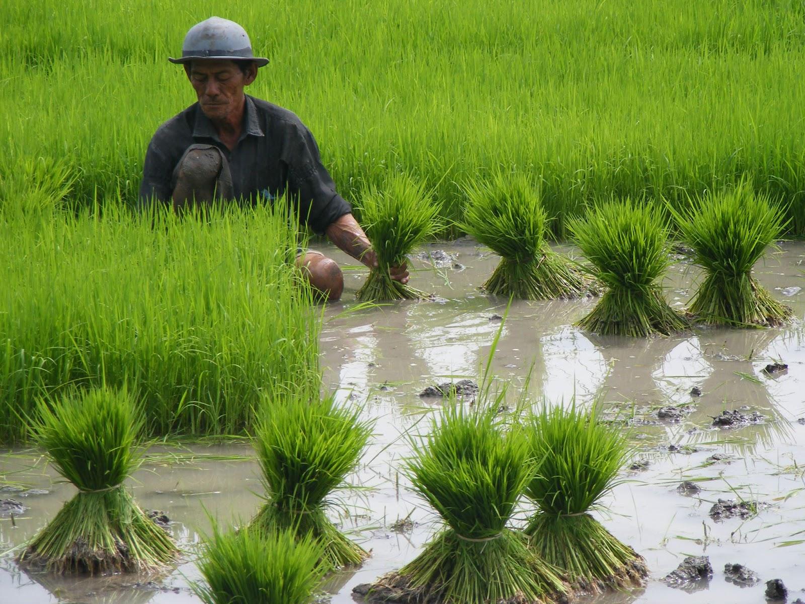 Info Pertanian Peternakan Alamat Distributor Pupuk Bersubsidi