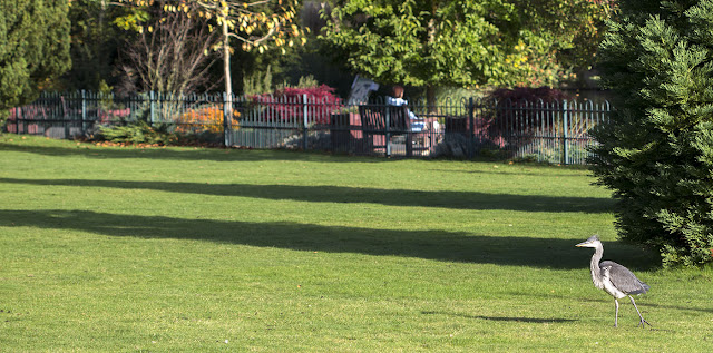 Young Grey Heron, Ardea cinerea, in Kelsey Park on 27 October 2012
