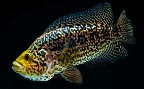 Beautiful colors amazing patters the aggressive jaguar for Most aggressive freshwater fish
