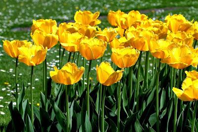 Bienvenidos al nuevo foro de apoyo a Noe #272 / 03.07.15 ~ 09.07.15 - Página 3 Fotos-gratis-de-flores-tulipanes-de-colores-free-colorful-tulips-photos-+(11)