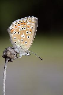 Para ampliar Polyommatus bellargus (Niña celeste) hembra, anverso hacer clic