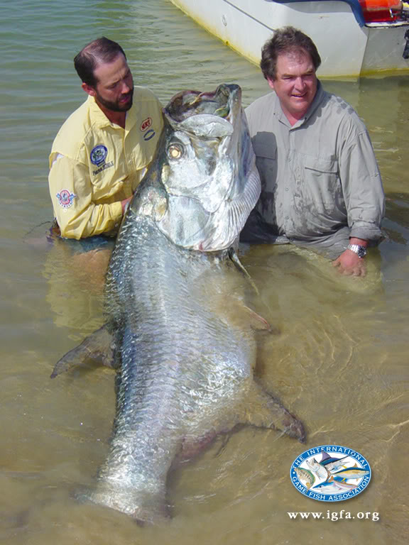 Big fishes of the world tarpon megalops atlanticus for Largest saltwater fish