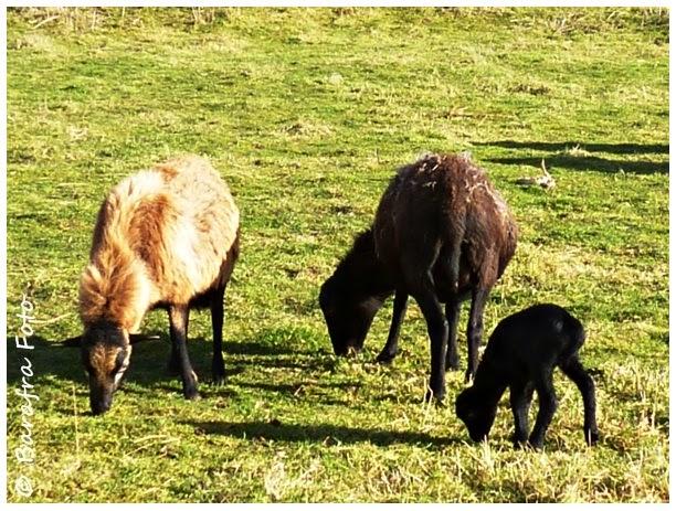 Barafras Kochlöffel: Ostern und schwarze Schafe? Von