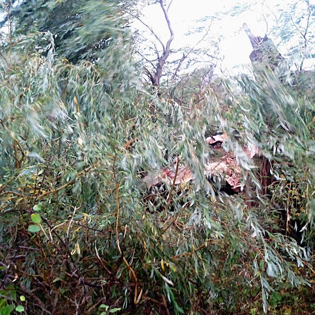 Væltet træ ved Utterslev Mose