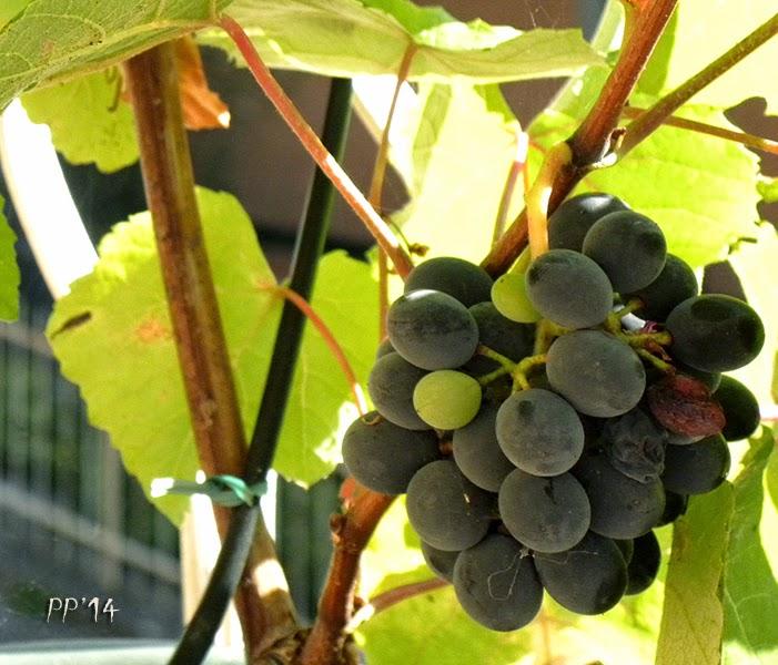 Noivastesi una piccola storia di una vite d 39 uva fragola for Uva fragola in vaso