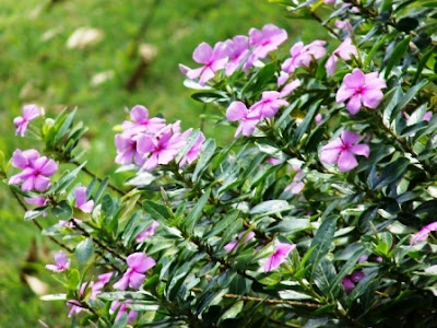 11 Tanaman Pengusir Nyamuk, bunga geranium, tapak dara, dammar-asihan.blogspot.com