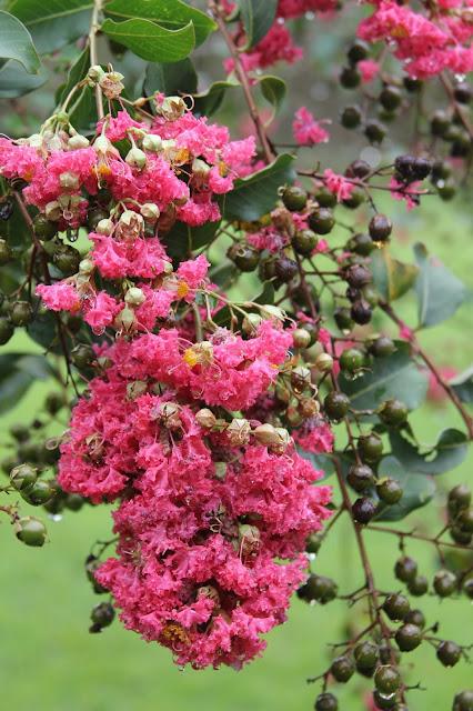 crape myrtle blossoms