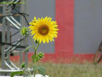 Flor da Praça