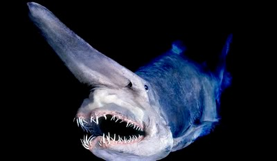 FACT: Goblin Shark can extend its jaw forward to catch prey