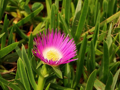 Microscópio Colorido FlordeSão João, Flor de Maio e Onze horas