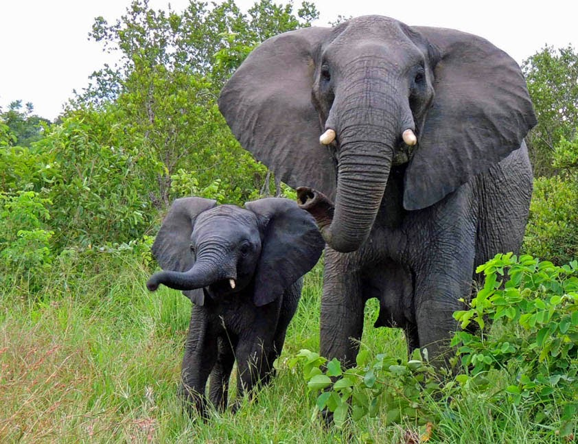 Baby elephant (calf) and Female elephant (cow)
