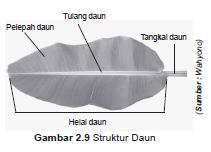 struktur tulang daun