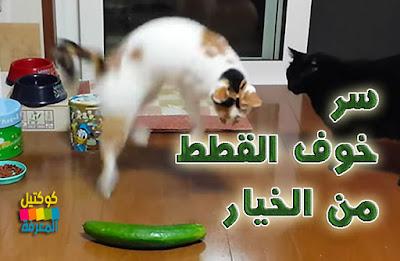 لماذا تخاف القطط من الخيار