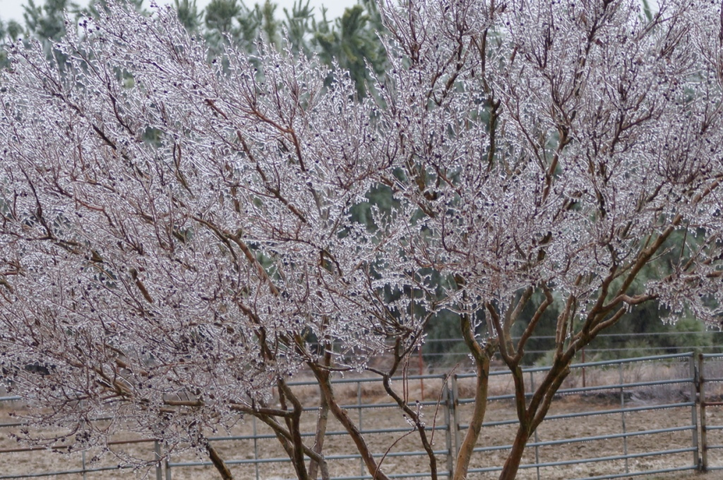 #Arkansas #Winter Storm #ice #crepemyrtle