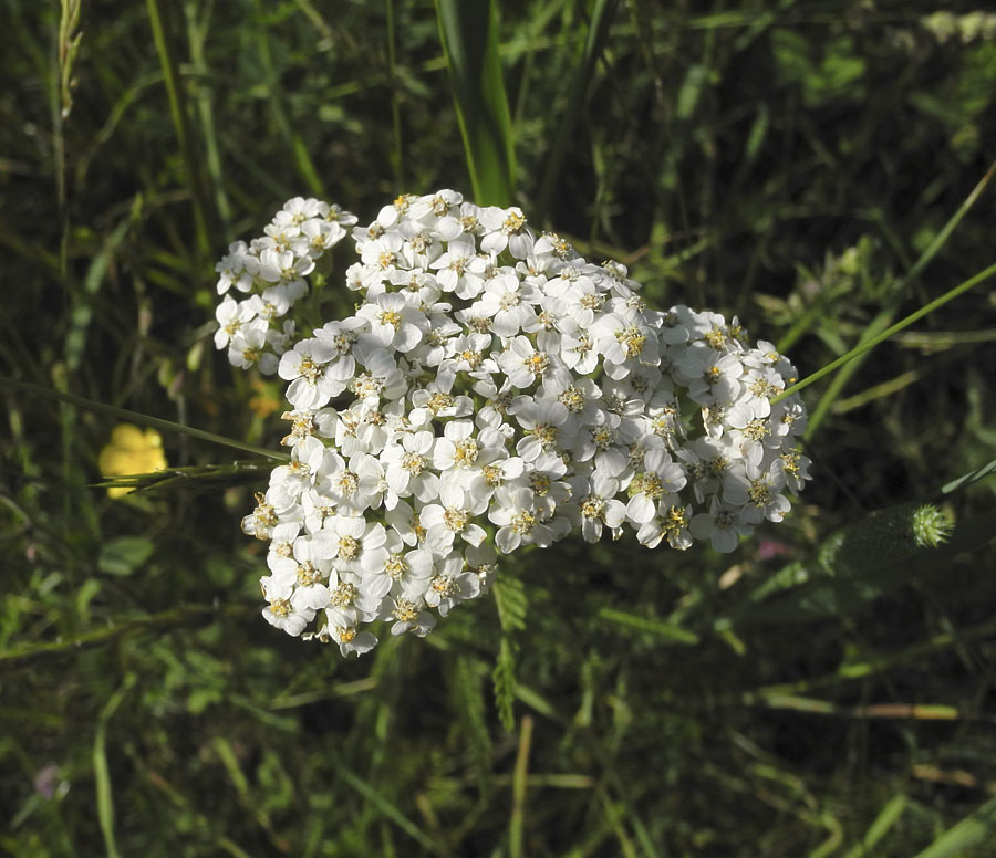Yarrow S White Is Made Up Of Many Small Flowers Each With Its Pale Yellow Center