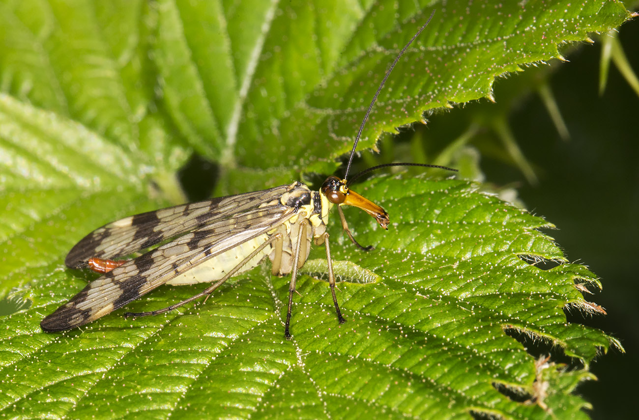Scorpion Fly, Panorpa species.  Female.  High Elms Country Park, 25 May 2014.