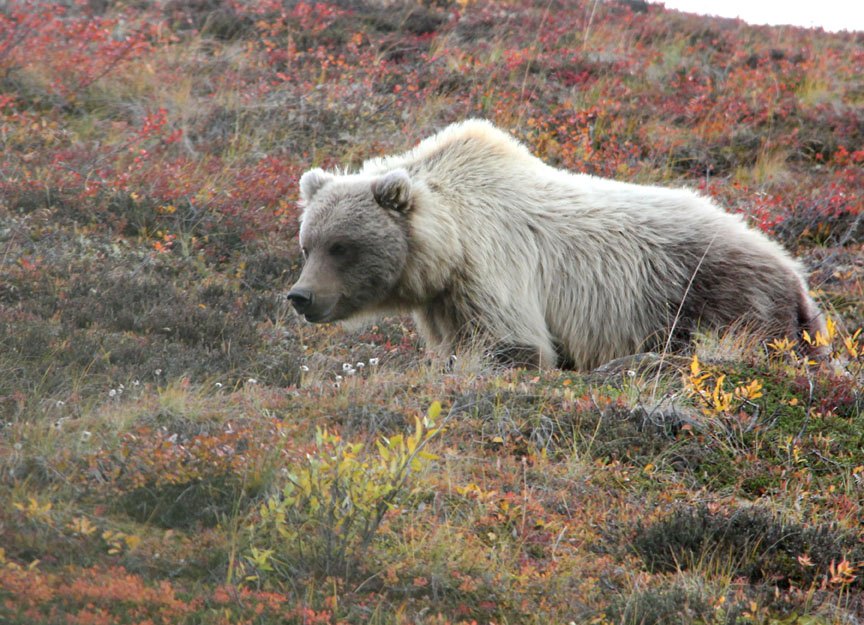 Sketching In Nature Grizzly Bear At Denali National Park