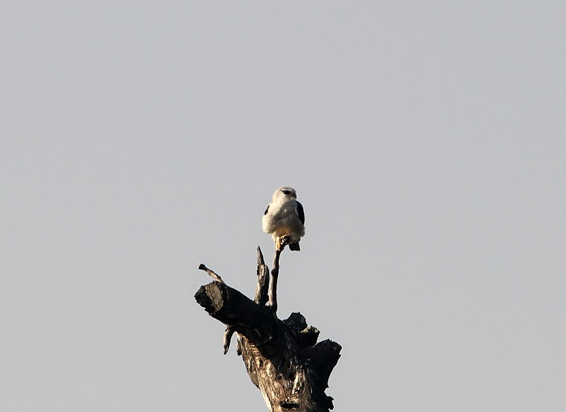 Black-Shouldered Kite Elanus caeruleus in the Brufut Forest