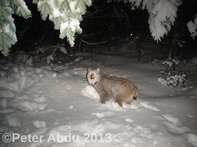 Remote Captures Canadian Lynx In New Hampshire