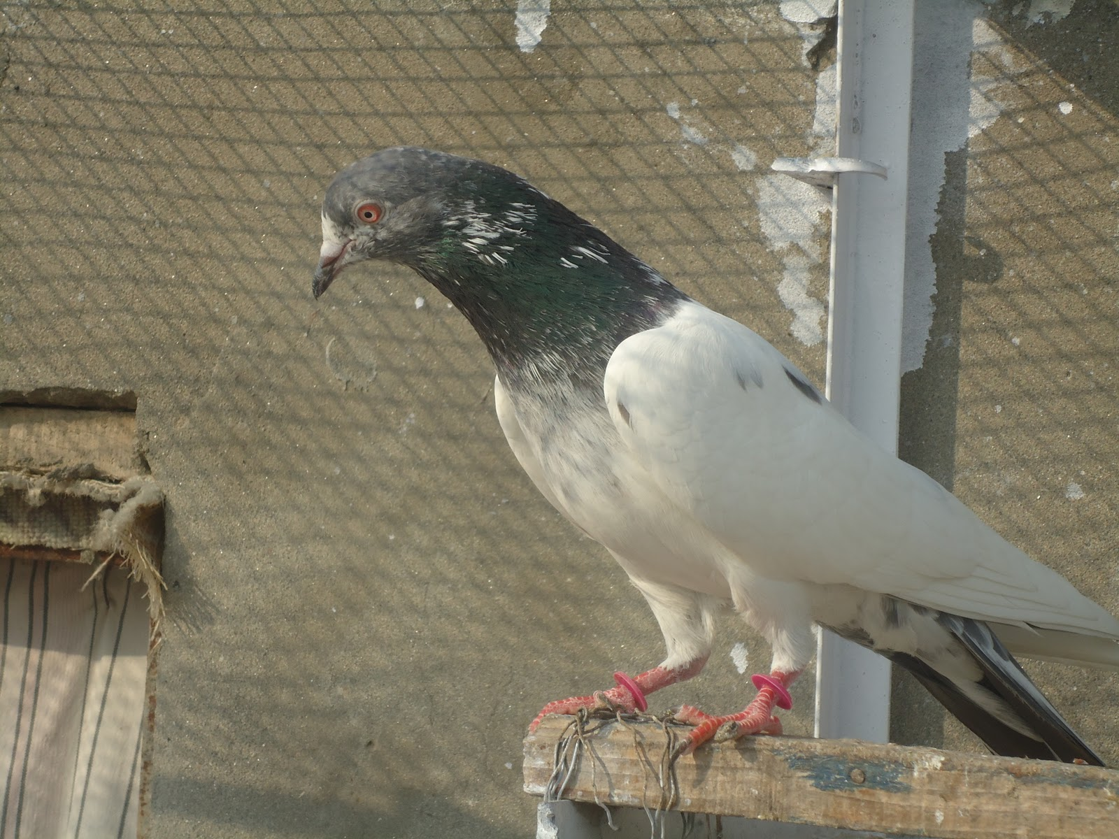 High Fly Pigeons http://kabootarbaaz1.blogspot.com/2011/02/pakistani-high-flying-tipplers.html