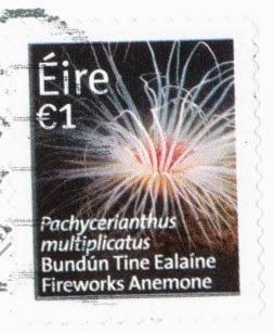 firework anemone, pachycerianthus multiplicatus