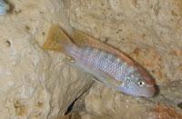 malawi cichlid fish hybrid breeding hobby