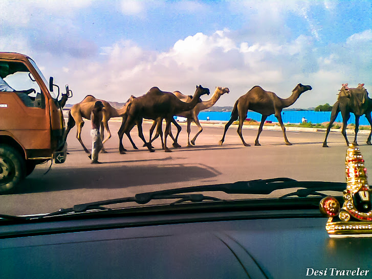 Camels on Highway India