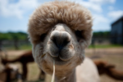 alpaca eating lunch