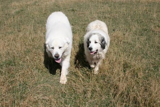Rural revolution pregnant with puppies these magnificent dogs are owned by carol and jim of agape ranch two of the nicest people youll ever meet as well as the most ethical breeders i know fandeluxe Image collections