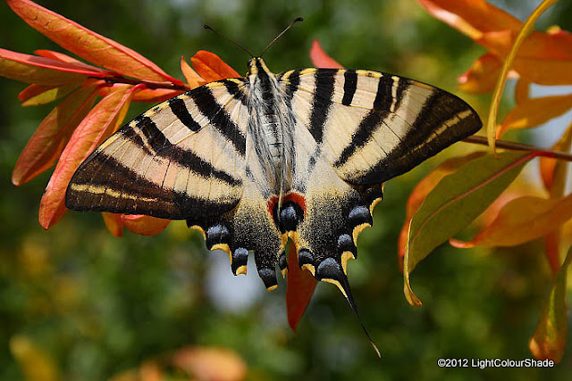 Scarce Swallowtail (Iphiclides podalirius) on a pomegranate twig close-up