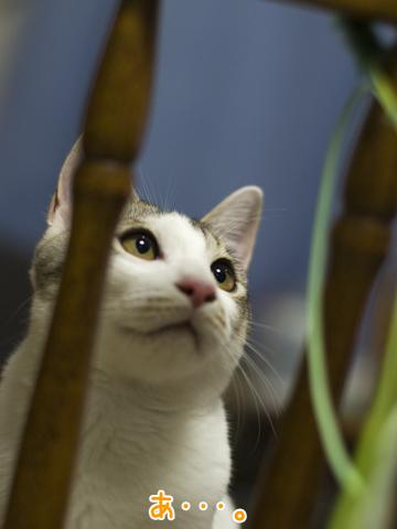 猫じゃらしを見つめる子猫