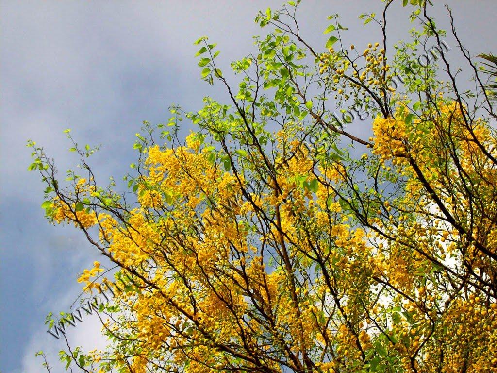 Kanikonna The Vishu Special Flower My Travelogue