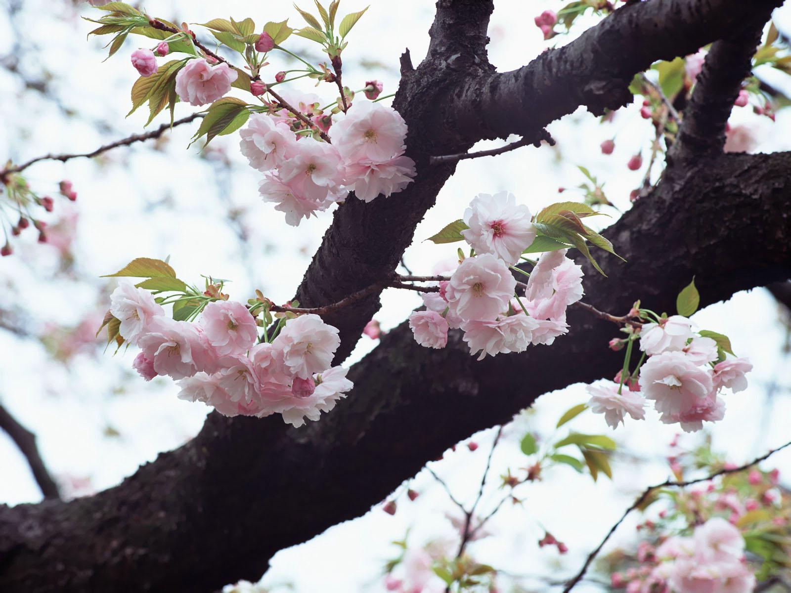 http://4.bp.blogspot.com/-fbNCOKfYqWI/UQJQEqT3ySI/AAAAAAAAKN4/uNG41slxPzI/s1600/hinh-nen-hd-dep-hoa-anh-dao-Japanese_nice_wallpapers-windows-8_xuan-2013-_121_EZ193.jpg