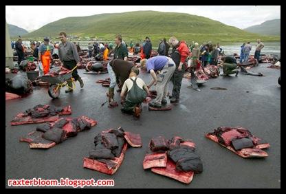 Ada Tradisi Pembantaian Paus Secara Massal di Gulfstream raxterbloom.blogspot.com