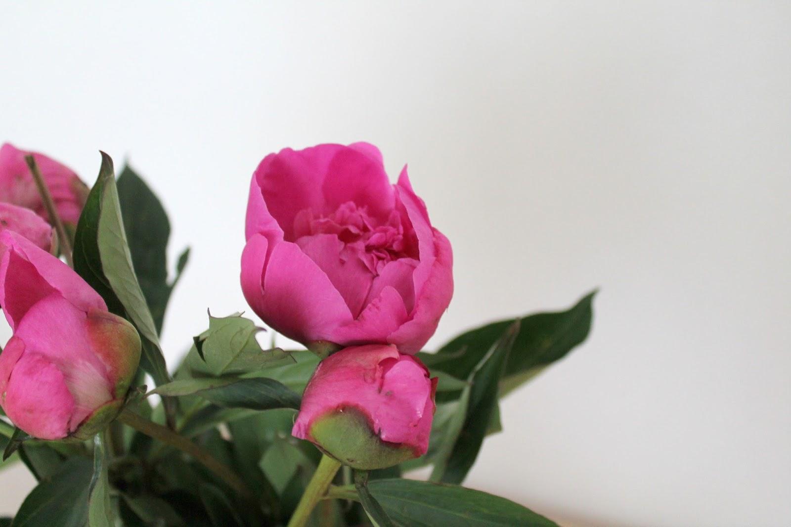 Pfingstrosen pink Peonies