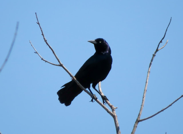 Boat-tailed Grackle - Jamaica Bay, New York