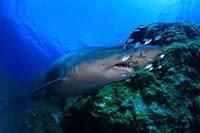 Convertir las aguas canarias en un santuario de tiburones.