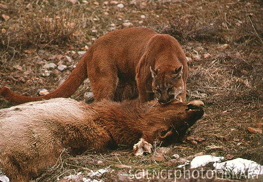 Z9340063 Mountain lion with a kill SPL