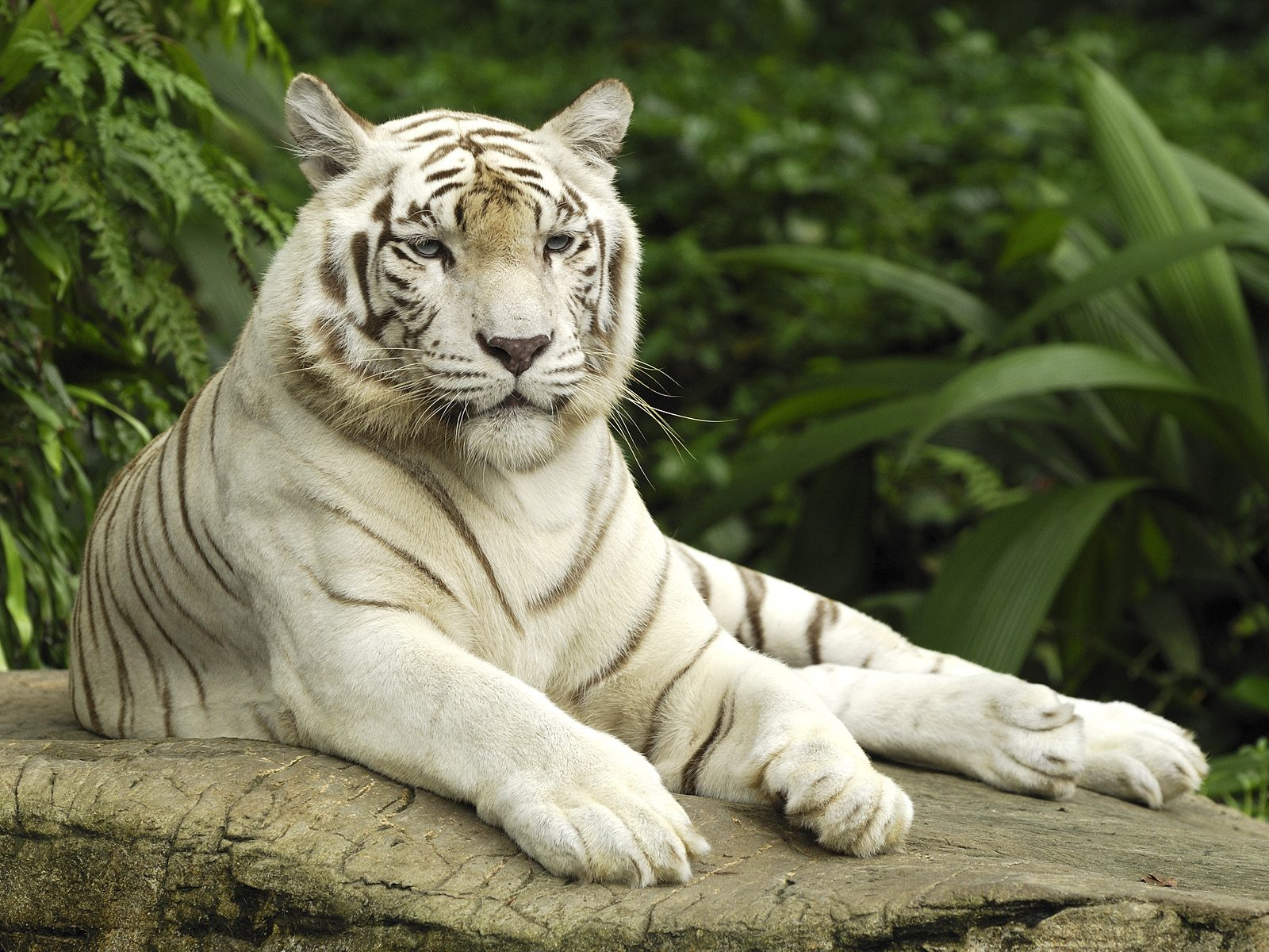 White Tiger Wallpapers on mike tyson pet tiger