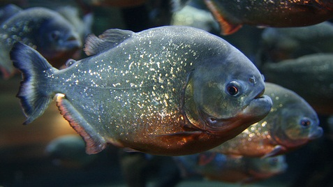 Animals plants rainforest piranha dangerous fish in world for Dangerous fish in the amazon