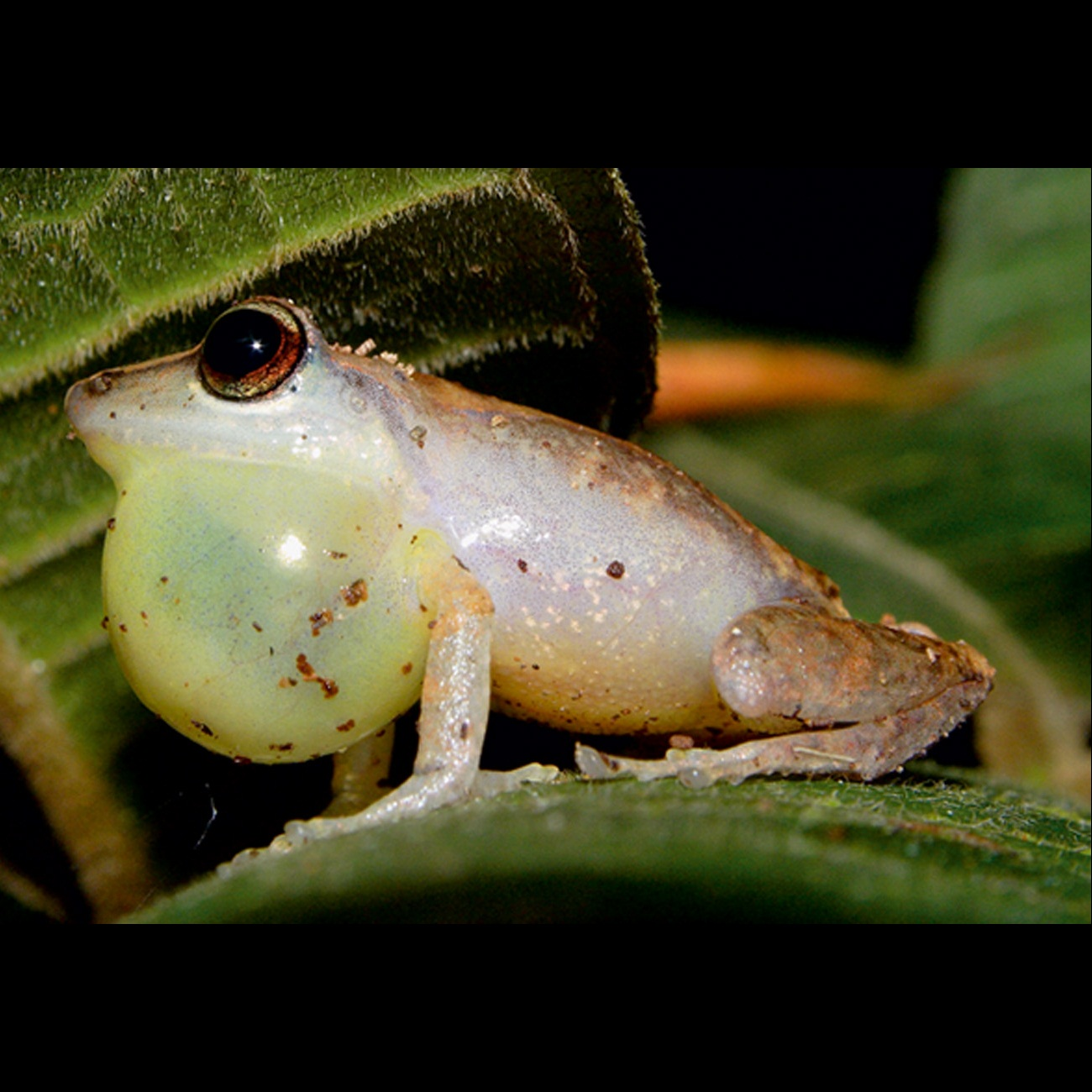 Cryptic species of tree frog revealed in Cuba