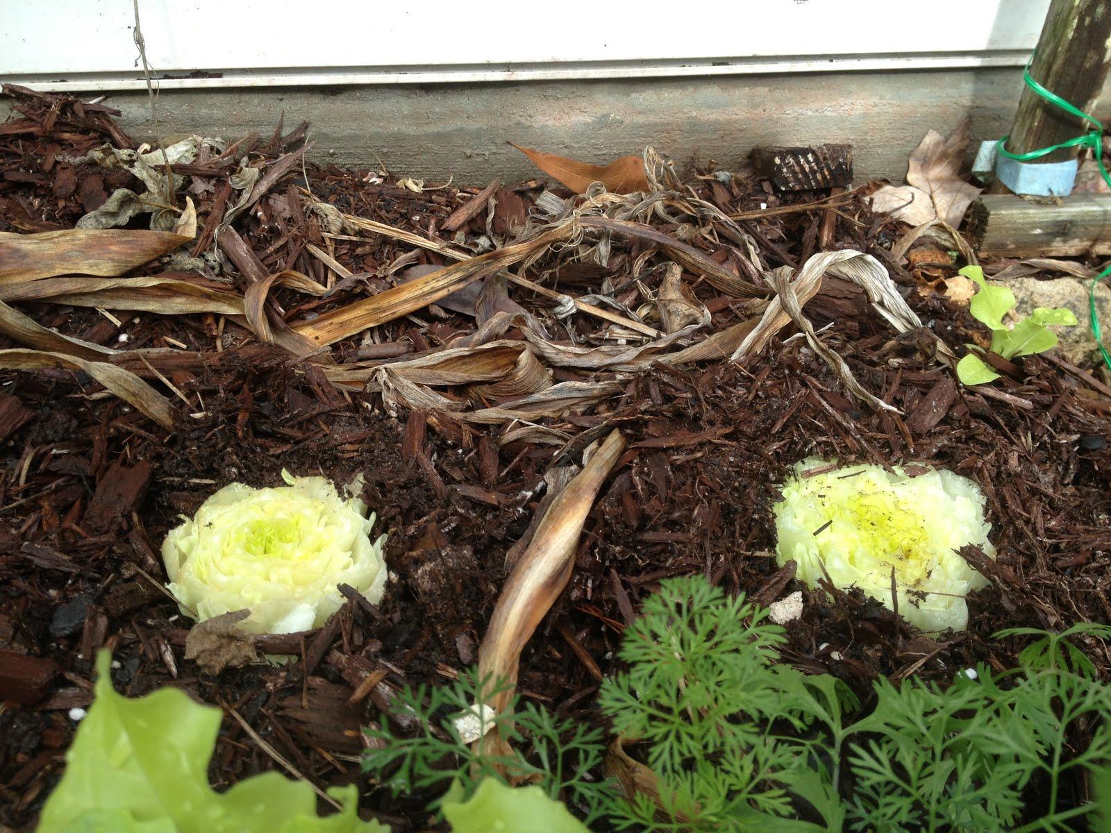 My Carolina Yard: Re-grow Romaine lettuce Hearts